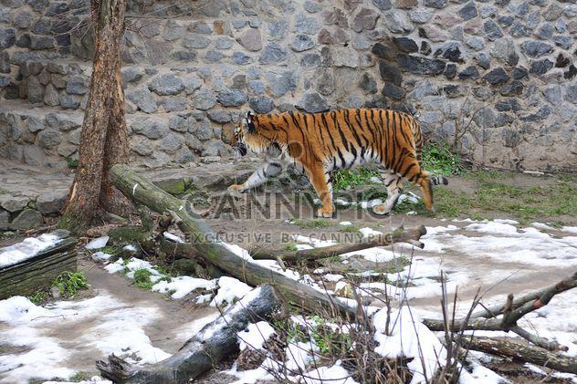 Уссурийский тигр - бесплатный image #273627