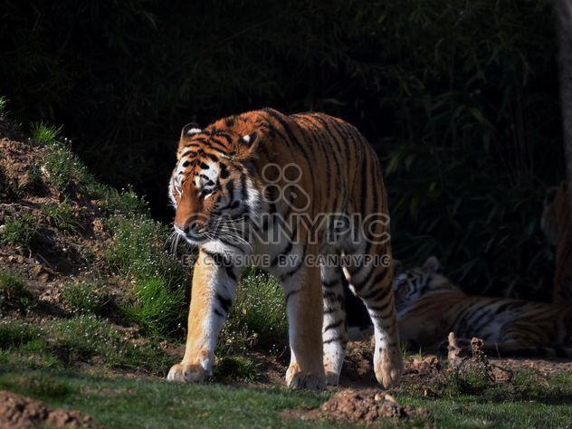 Тигр в парке - бесплатный image #273647