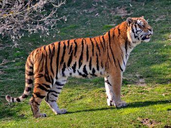 Tiger - image #273657 gratis