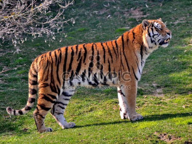 Tiger - Free image #273657