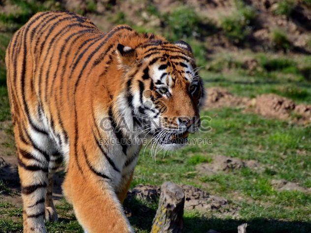 Tigre - image #273667 gratis