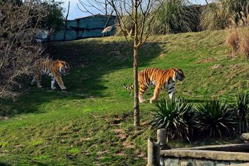 Tiger - image gratuit #273677
