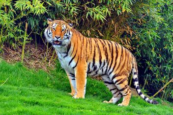 Tiger - Free image #273687