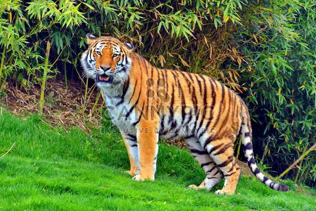 Tigre - Free image #273687