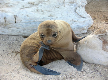 Baby sea lion - image #275427 gratis