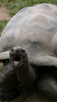 Shouty tortoise, Australian Zoo, Australia.jpg - Free image #275437
