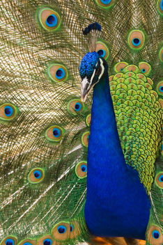 Beautiful Plumage - Free image #275467