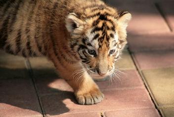 Baby Tiger - image #275547 gratis