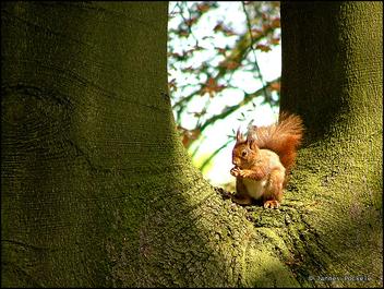 squirrel (Eekhoorn) - Free image #275587