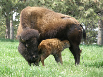 Buffalo and Newborn - Free image #275597