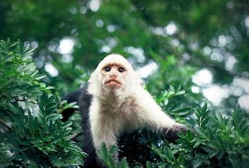 Costa Rican Monkey, Monteverde Costa Rica - Free image #275627