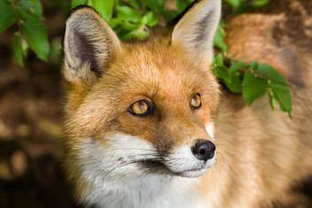 Red Fox - image #275767 gratis