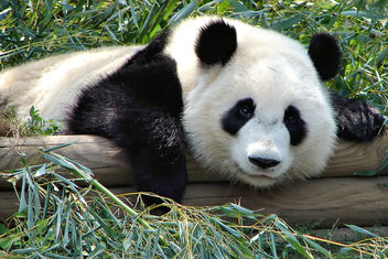 panda gaze - Free image #275777