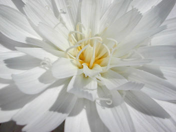 Desert Chicory - Free image #275897
