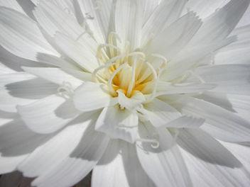 Desert Chicory - image #275897 gratis