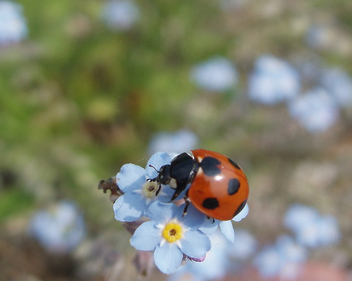 ladybug and wasurenagusa(forget-me-not) - Free image #275957