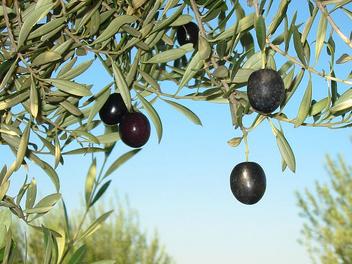 Olives - Free image #276077