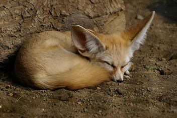 Fennec Fox - image gratuit #276097