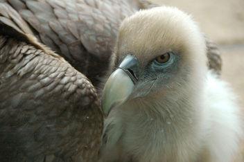 Griffon vulture - image #276807 gratis