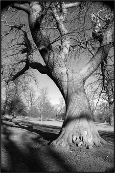 Black & White Tree - image gratuit #276817