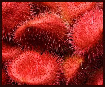 Lipstick Tree Pods - Free image #276827