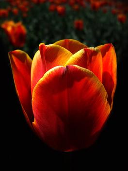 Tulip - image gratuit(e) #277067