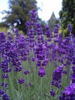 Lavender Blue - image gratuit #277217
