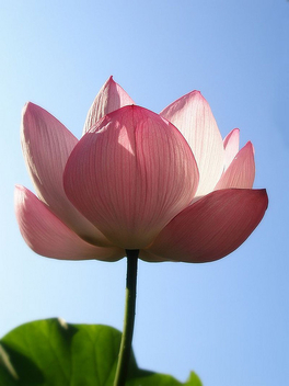 Pink lotus - Free image #277317