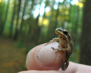 Little chorus frog - Kostenloses image #277507