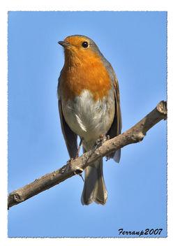 petirrojo 03 - pit-roig - robin - Erithacus rubecula - Free image #277517