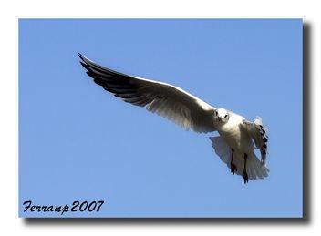 Gavina vulgar 01 - Gaviota reidora - Black-headed gull - Larus ridibundus - Free image #277677