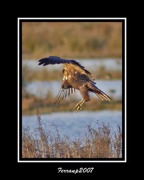 arpella vulgar 06 - aguilucho lagunero - marsh harrier - circus aeruginosus - Kostenloses image #277687