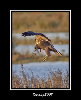 arpella vulgar 06 - aguilucho lagunero - marsh harrier - circus aeruginosus - Free image #277687