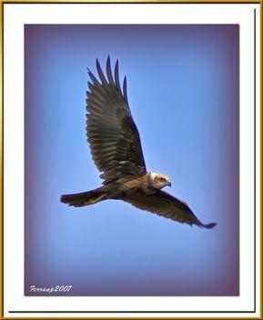 arpella vulgar 27 - aguilucho lagunero - marsh harrier - circus aeruginosus - Free image #277827