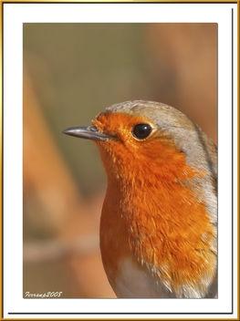 pit-roig 10 - petirrojo - robin - erithacus rubecula - Free image #278077