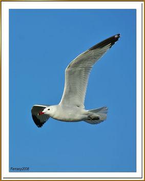 gavina corsa 05 - gaviota de audouin - audouin's gull - Larus audouinii - Free image #278117