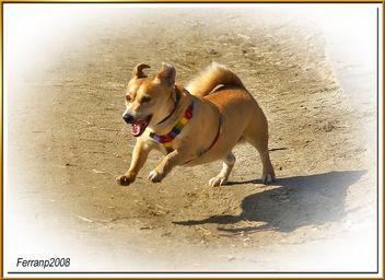 gervi, mi pit-bull enano - little pit-bull - Kostenloses image #278137