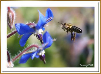 abeja libando una borraja 10 - bee sucking a borage flower - abella libant una borraina - Free image #278157