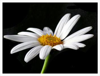 Daisy Macro - Free image #278257
