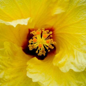 Hibiscus - бесплатный image #278357