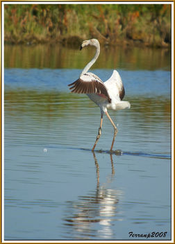 flamencs volant 13 - flamencos en vuelo - greaters flamingos in fligth - phoenicopterus ruber - Kostenloses image #278467