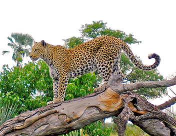 leopard on tree stump - image #278507 gratis