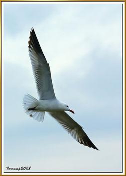 gavina corsa 25 - gaviota de audouin - audouin's gull - Free image #278517