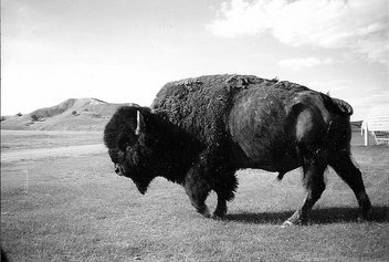 Bison - Badlands National Park - Free image #278577