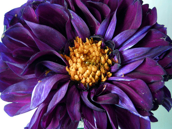 purple-flower - image gratuit #278617