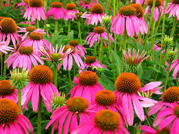Bumble-bee field of flowers - Free image #278677
