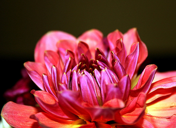 Decorative Dahlia Flower. - бесплатный image #278857