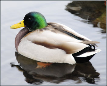 Male Mallard (2 of 3) - Free image #279317