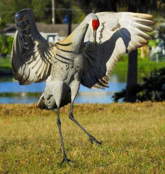 Sandhill Crane in Love! ( Grus canadensis pratensis ) - Free image #279357
