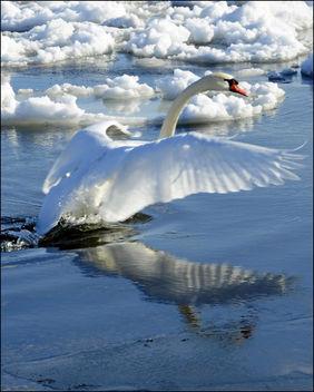 Lake Ontario Swan (Takeoff) - Free image #279397